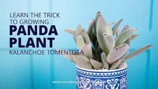 2 inches and  4 Inches Kalanchoe Tomentosa Chocolate Soldier Panda Plant Succulents