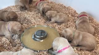 Rugby 3-week-old British Labrador Puppies