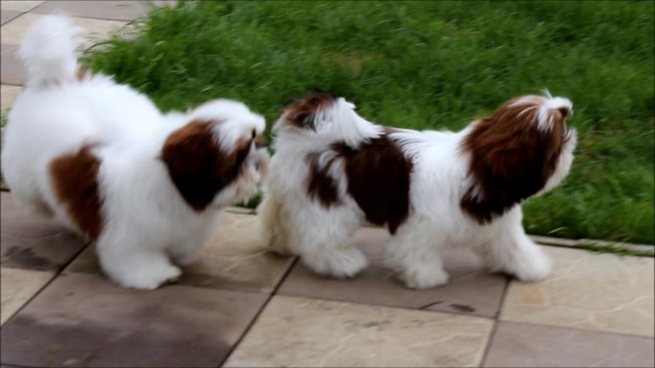Shih Tzu Male Puppy You