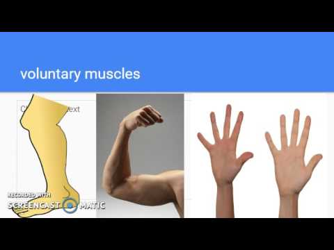 voluntary muscles and involuntary muscles - youtube, Human Body