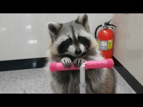 Raccoon learns how to ride a scooter