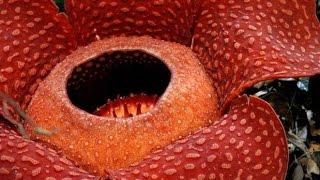 Удивительные растения-паразиты