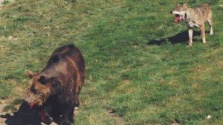 Стая волков напала на медведя в зоопарке