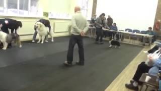 Caronlea Sheltie wins best puppy in show!