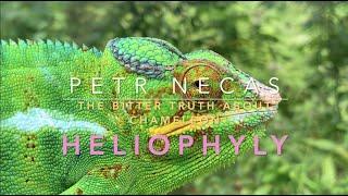 Chameleon fake heliophyly