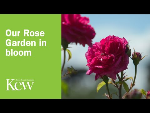 our-rose-garden-in-bloom