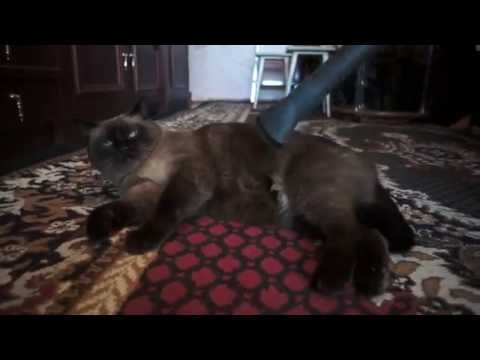 Big and funny Siamese Cat loves vacuum.