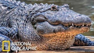 Гигантский крокодил (National Geographic)
