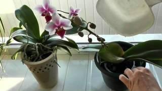 Как поливать орхидеи(, 2012-01-11T15:54:30.000Z)