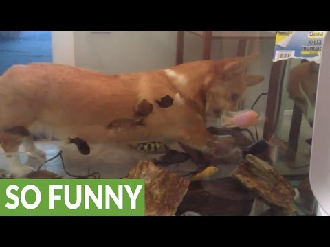 Corgi struggles to comprehend fish tank