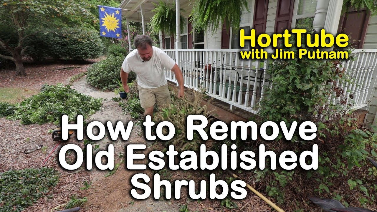 How To Remove Old Elished Shrubs Digging Out Well Ancd Plants
