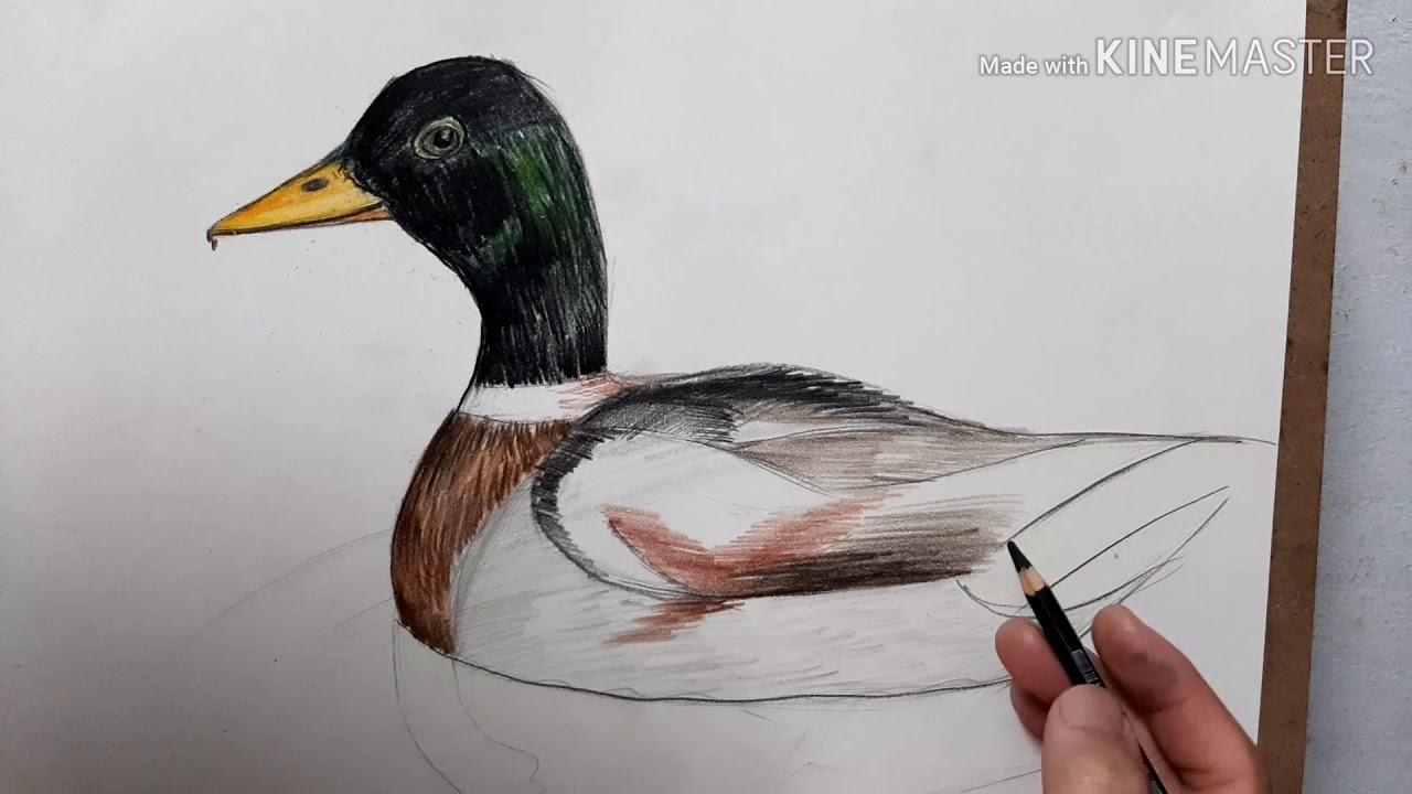 Hướng dẫn cách vẽ con vịt  đơn giản/Vẽ con vịt – Draw the duck / dạy vẽ con vịt/ Vẽ con vịt đang bơi