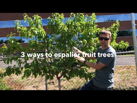Espalier Fruit Trees 3 Ways To Grow A Living Fruiting Fence Youtube
