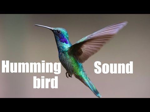 Hummingbird Sound Effect (Best audio quality)