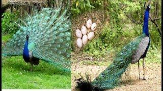 मोर एक पक्षी है जो अंडे नहीं देता, तो मोर के बच्चे कैसे होते हैं?