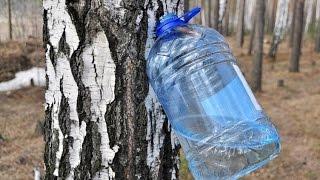 Как собирать Березовый сок, Самый эффективный метод
