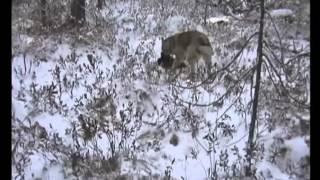 Профессиональная охота в западной сибири3.avi
