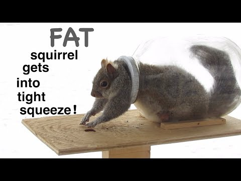 Squirrel ● Literally ● Bites Off More Than He Can Chew ! !