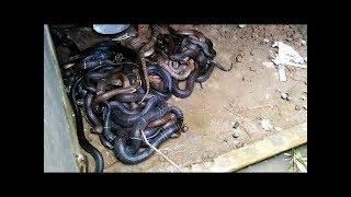 Trại rắn hổ mang, thu tiền tỷ mỗi năm từ nuôi rắn