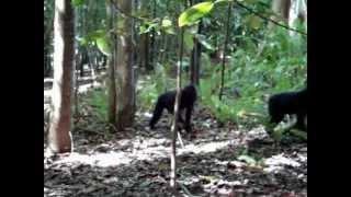 Repeat youtube video Black Macaca nigra Tangkoko Nature Reserve