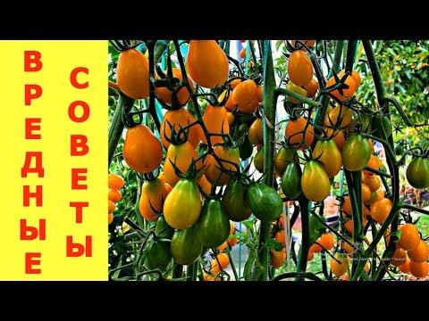 СОМНИТЕЛЬНЫЕ РЕКОМЕНДАЦИИ по выращиванию помидоров