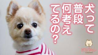 【ポメラニアン】ペットって何考えてるの?