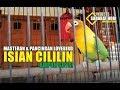 Masteran Lovebird Isian Cililin Mantap  Mp3 - Mp4 Download