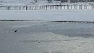 氷の張った池に鴨の回収に泳いでいくワイマラナー!