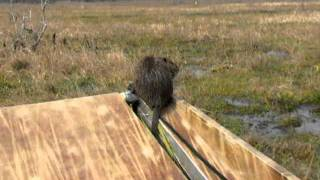 Meet A Nutria Rat - Louisiana Bayou Airboat Tour