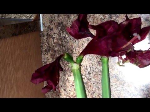 Оранжерейные - Луковичные и клубнелуковичные растения