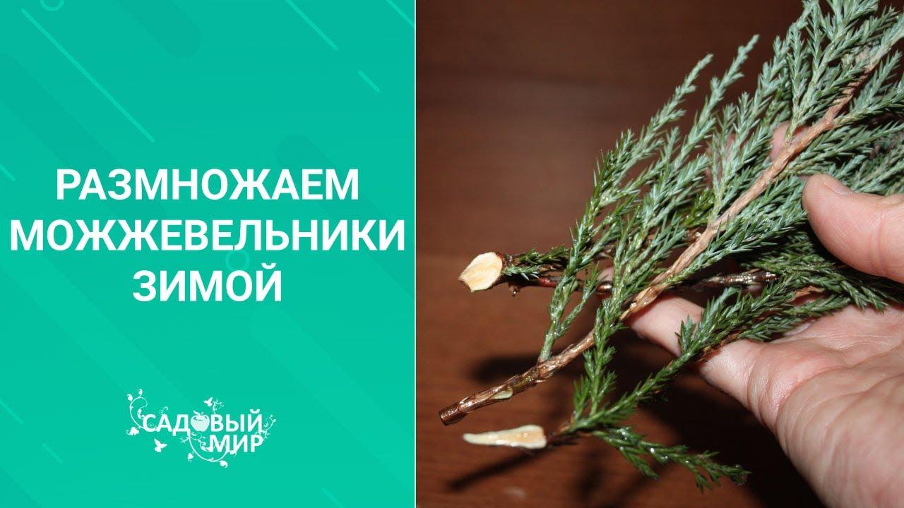 Размножаем можжевельники зимой. Методика зимнего черенкования хвойных растений.
