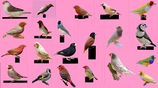Top 30 Finch Bird and name