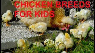 FOR KIDS: beautiful chicken breeds with real sounds - roosters, chicks and mother hens, farm animals