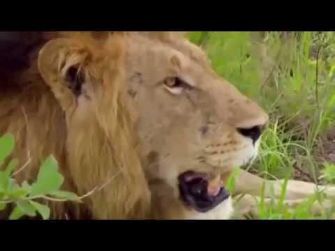 Животные мира Прайд львов Дикие собаки Новый гарем Гиппопотам Слоны Леопард Природа Южной Африки