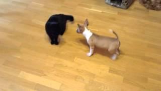 Собака убийца мини бультерьер против кошки