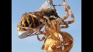 Самый опасный паук Крестовик — паук Araneus diadematus