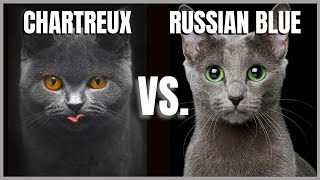 Chartreux Cat VS. Russian Blue Cat