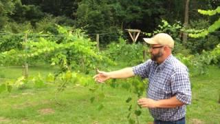 Grape (Muscadine) Arbor vs Trellis