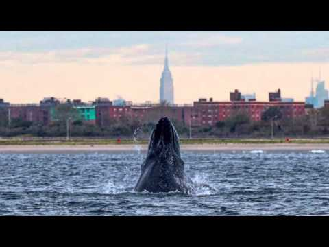 Humpback Whale Sighting Off New York Harbor