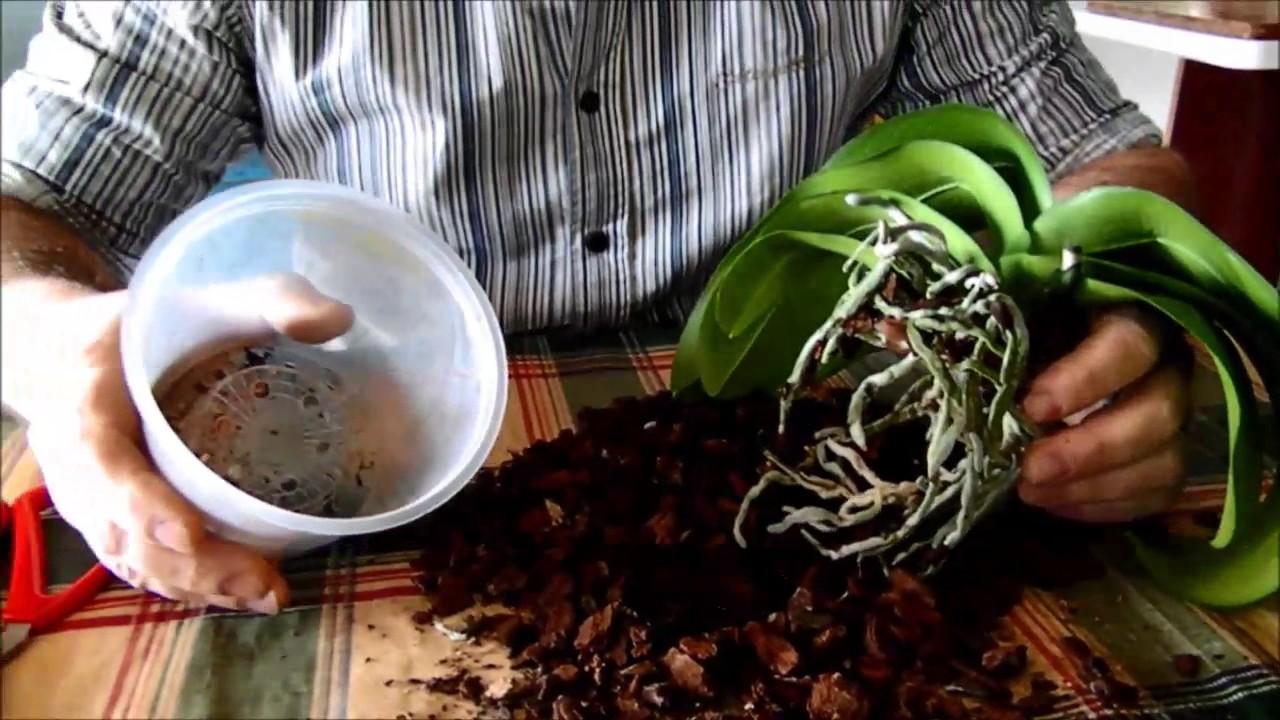 Potare Stella Di Natale.Potatura E Rinvaso Orchidea Phalaenopsis