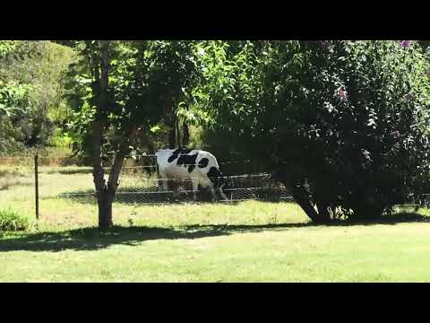 Perth to Margaret river and the grass farm cow