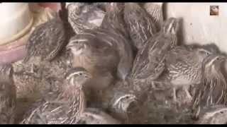 japanese quail farming in west bengal