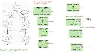 síntesis AMP GMP reciclaje purinas HGPRT APRT bioquímica biochemistry