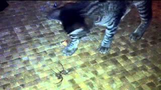 Stripe 1 Cane Spider 0
