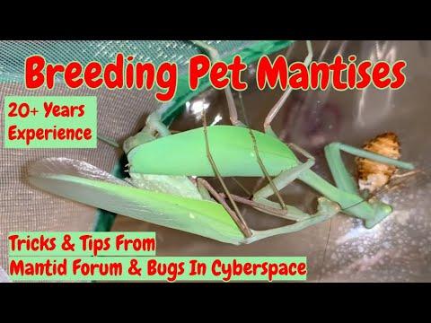 Mantis Care Sheet