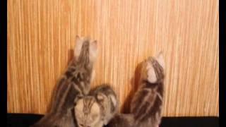 ПРОДАЖА! Британцы котята!