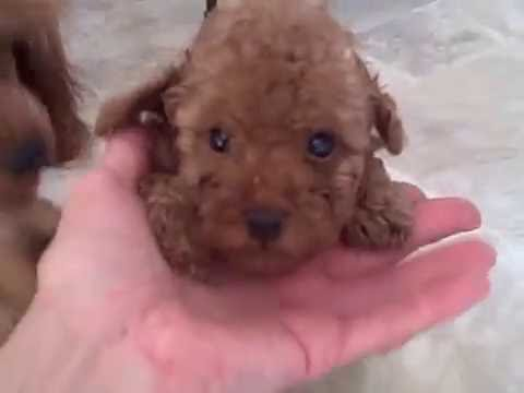 Red miniature poodle puppies of Krooshchicky