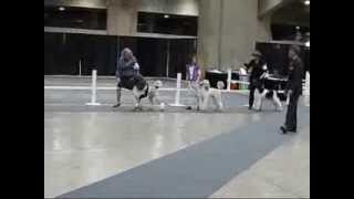 ACCM UKC show, Montreal 2013 Competition for Best of Winners/Breed,...