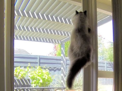 Ragdoll Cat Leaping Up Glass Door - ラグドール - PoathTV Funny Cat Vines Video - PoathCats