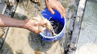 Amazing shrimp fishing by net।Fish catch by hand from river Deep water fishing